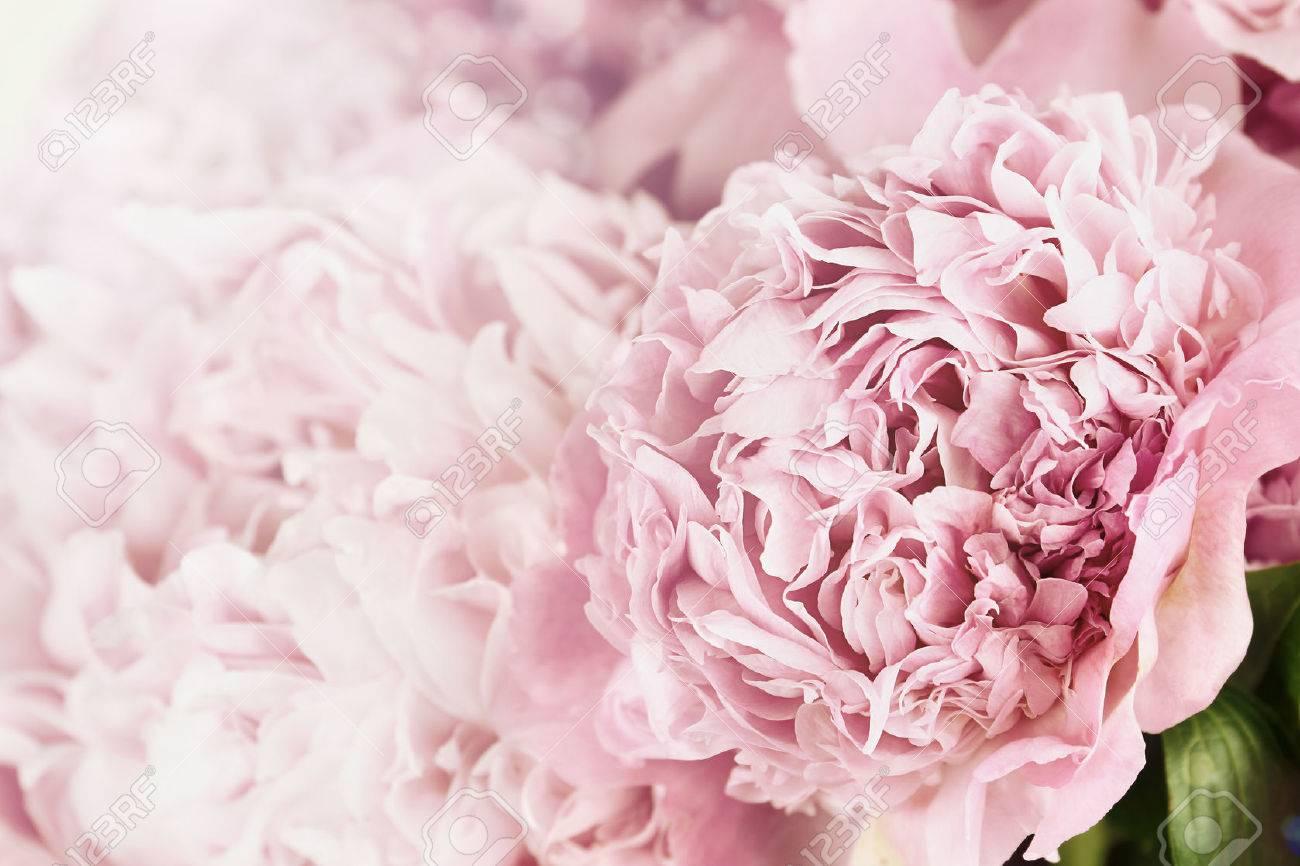 Schone Getonten Rosa Pfingstrosen Im Sonnenlicht Extrem Geringe