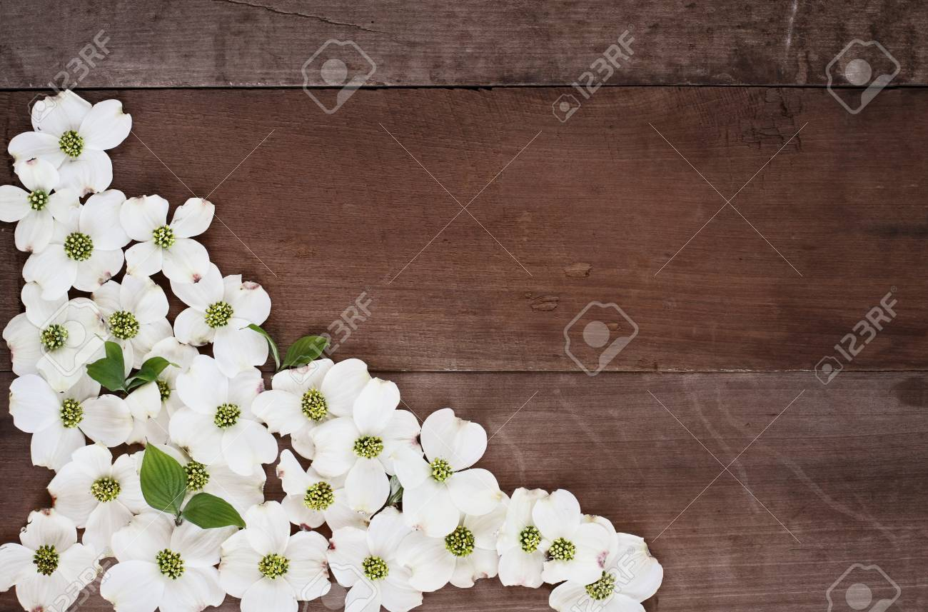 Close Of Flowering Dogwood Blossoms Over A Rustic Wood Table Top  Background. Image Shot From