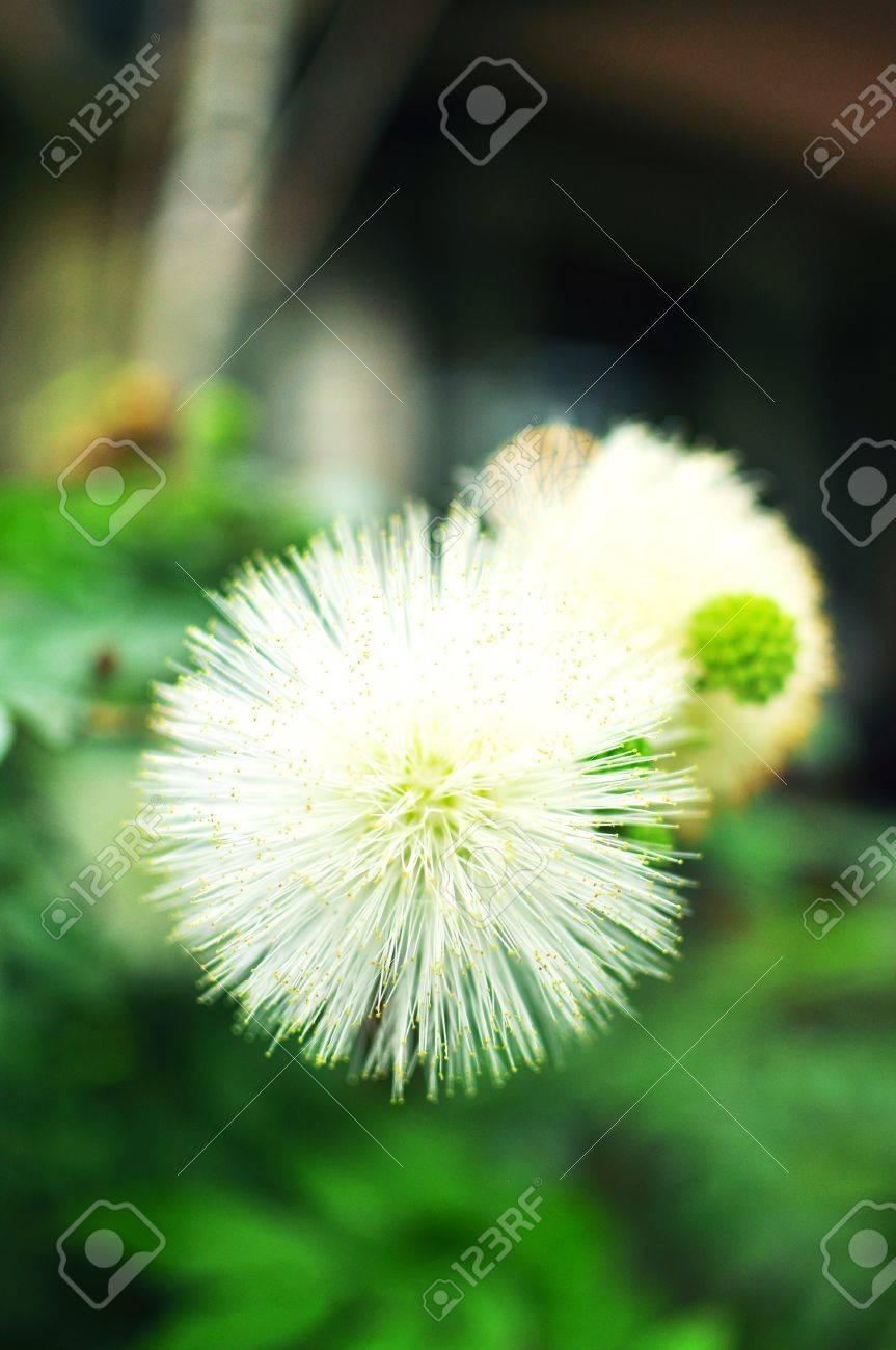 Two buds white puffy flowers stock photo picture and royalty free stock photo two buds white puffy flowers mightylinksfo