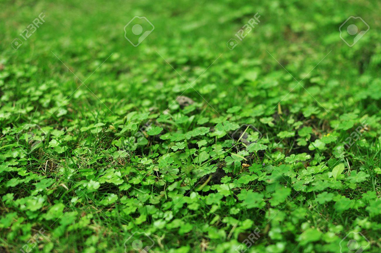 green four leaf clover Stock Photo - 19110603
