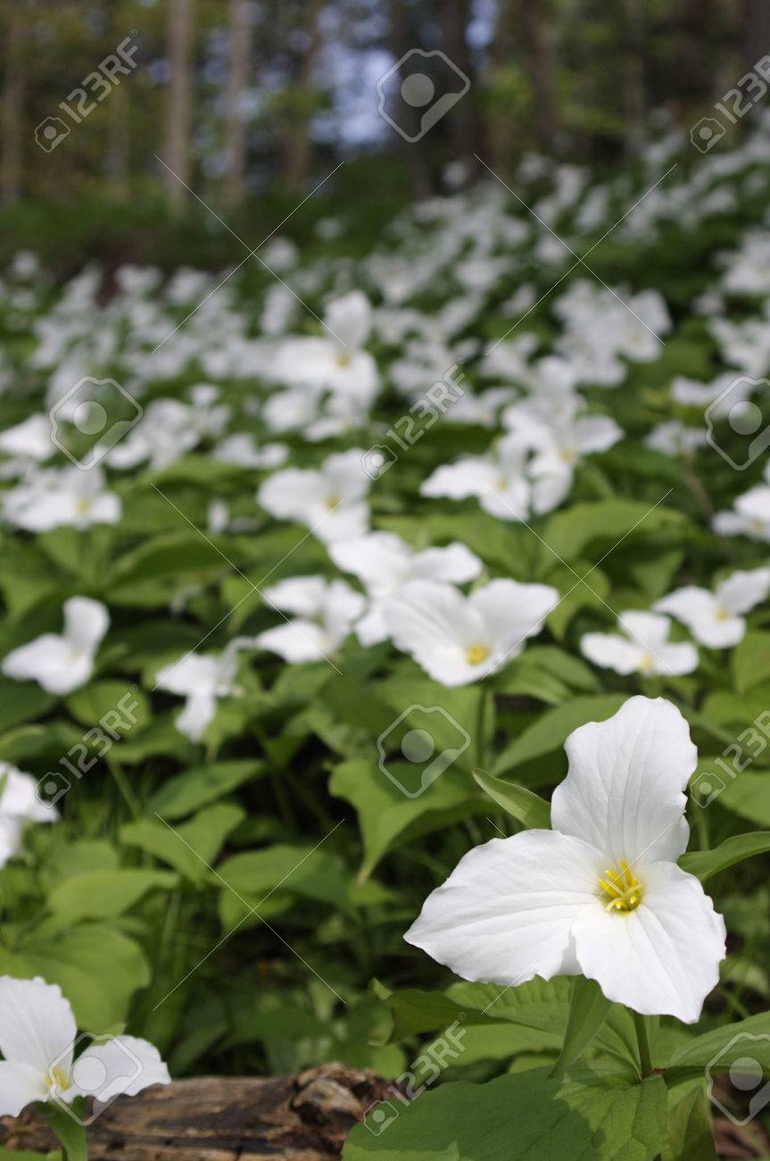 Field Of Trillium Flowers In Woods Stock Photo Picture And