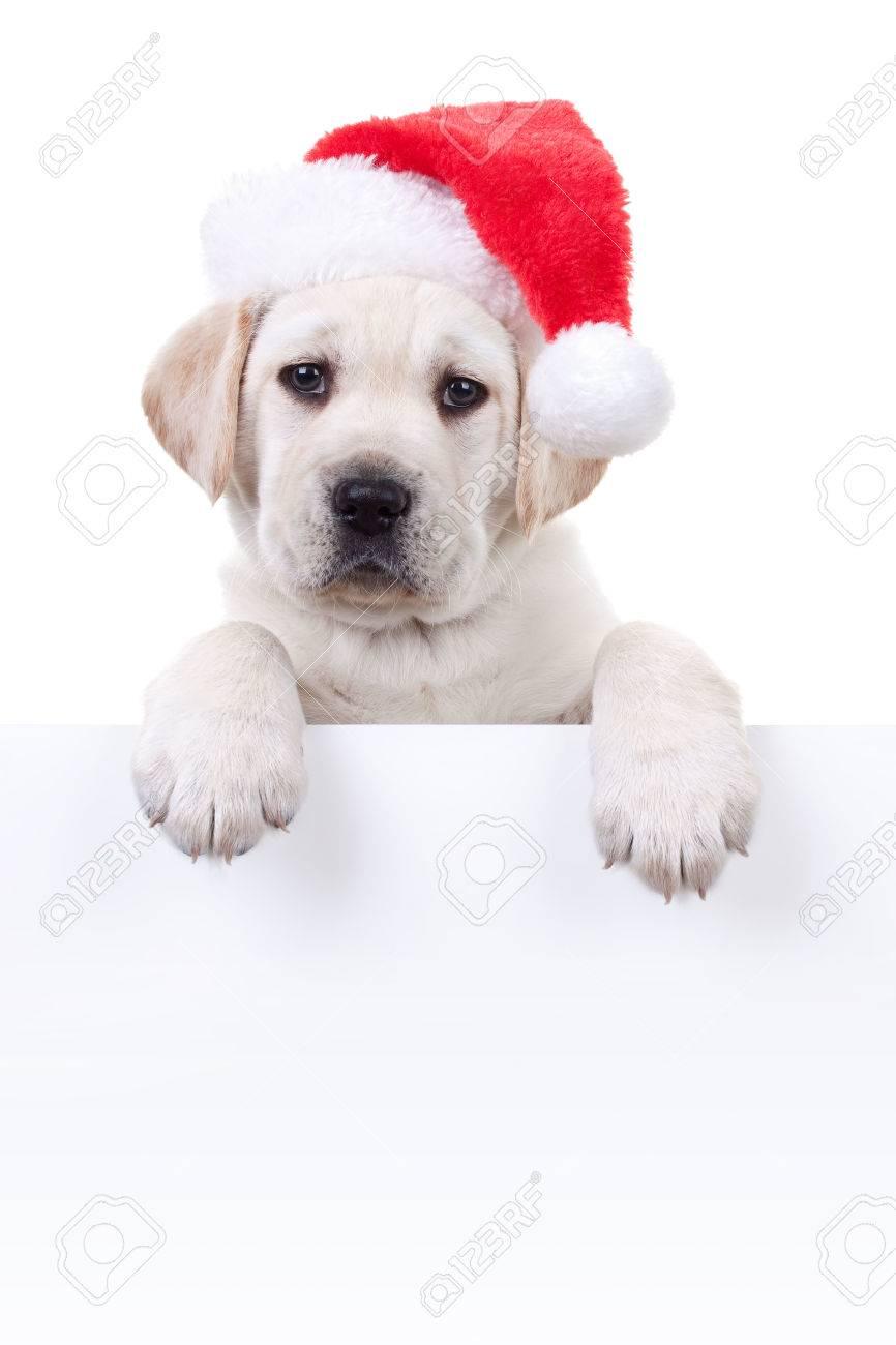 Labrador Christmas Stock Photos. Royalty Free Labrador Christmas Images