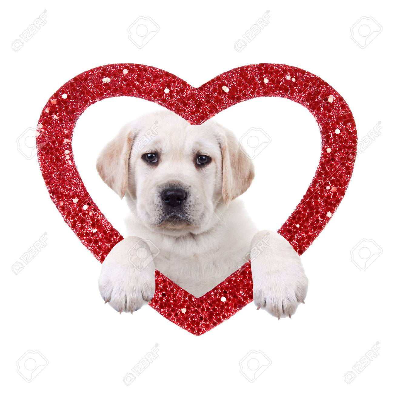 Valentine Day Labrador Puppy Dog And Heart Stock Photo   34192235