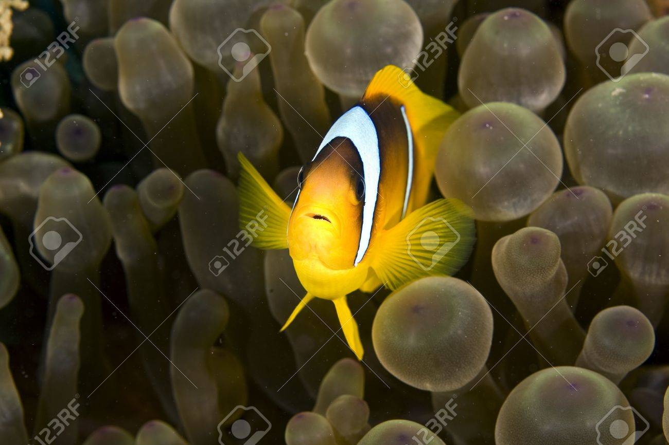 anemonefish (Amphipiron bicinctus) and bubble anemone Stock Photo - 4270424