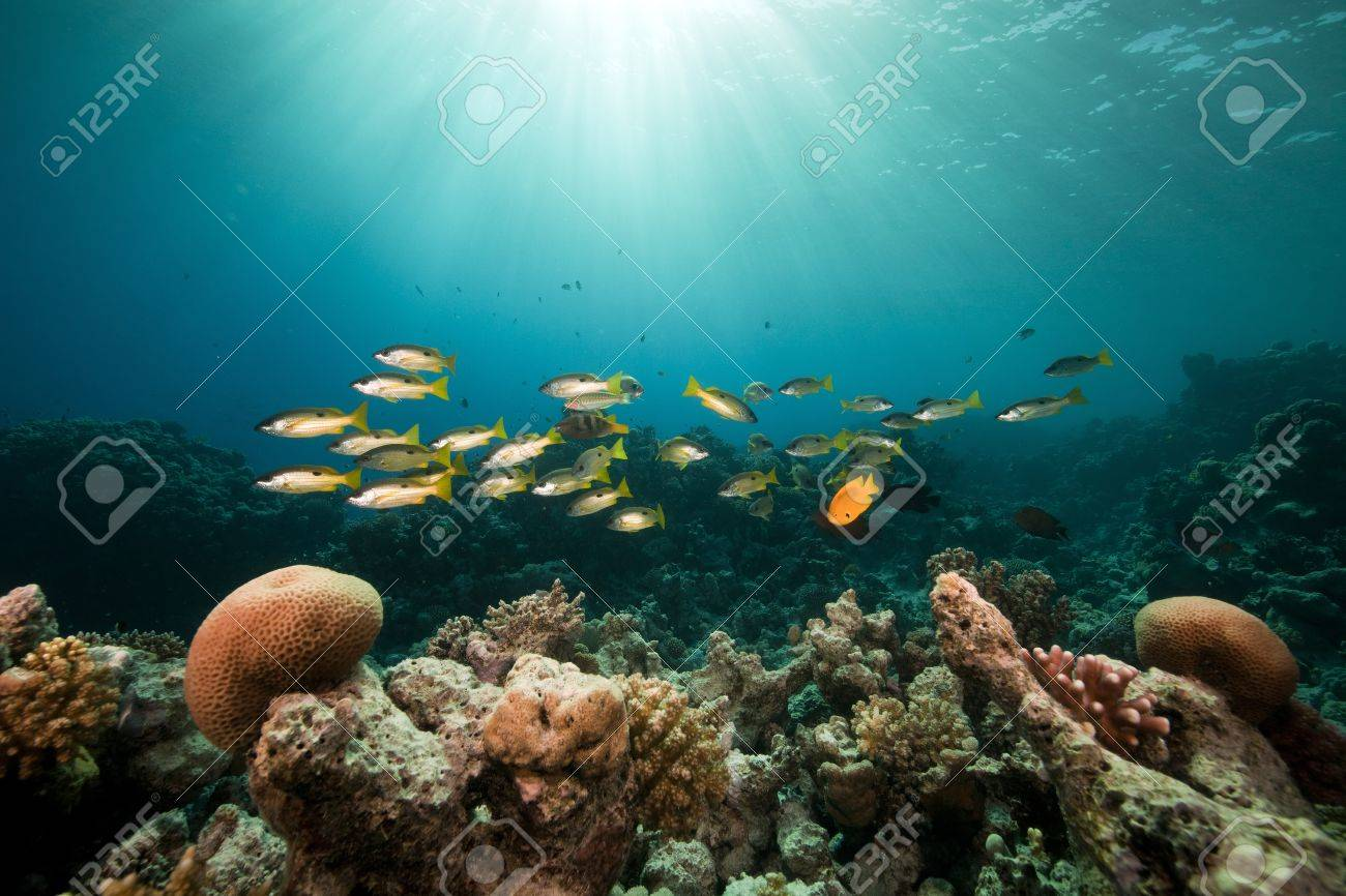 Ehrenberg's snappers and tropical reef in the Red Sea. Stock Photo - 8580829