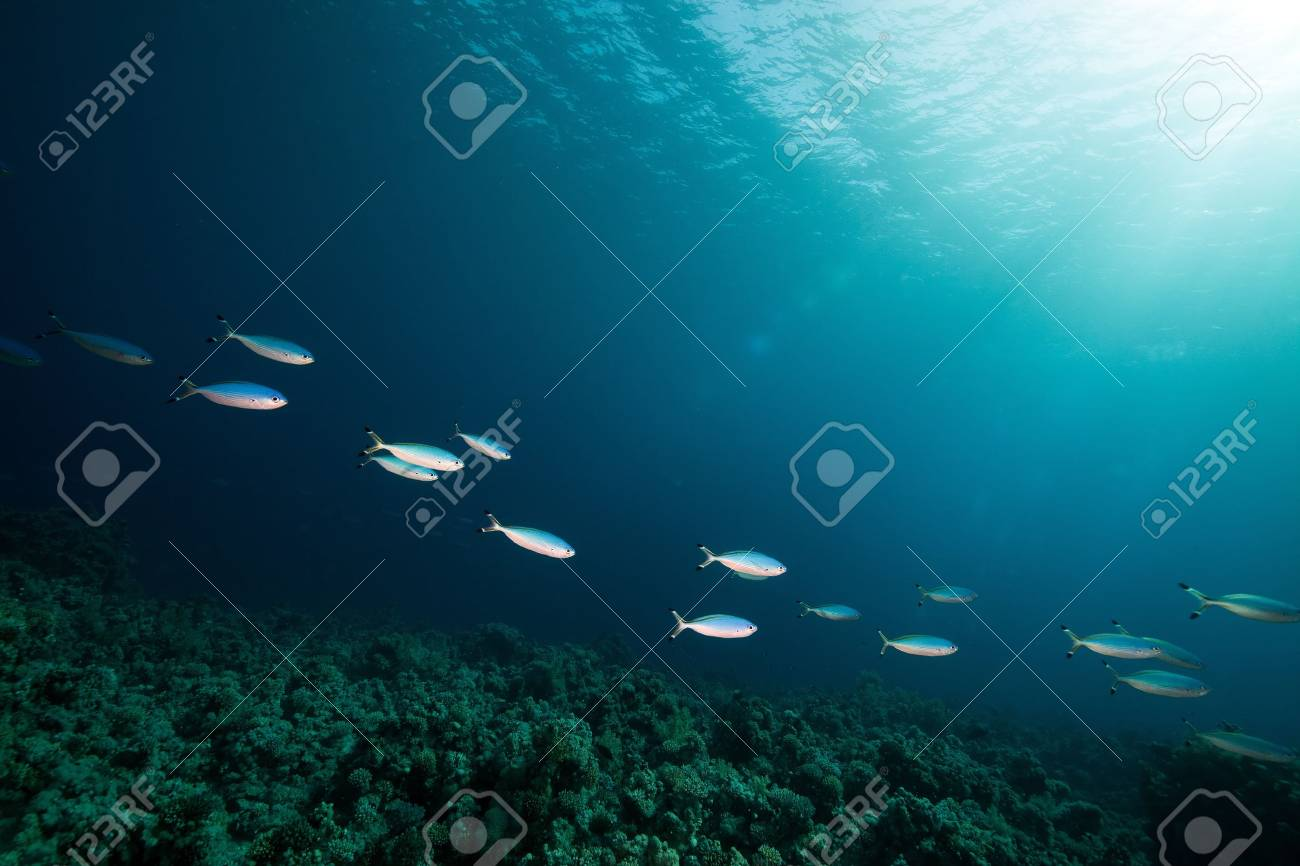Fusiliers and coral in the Red Sea. - 8637932