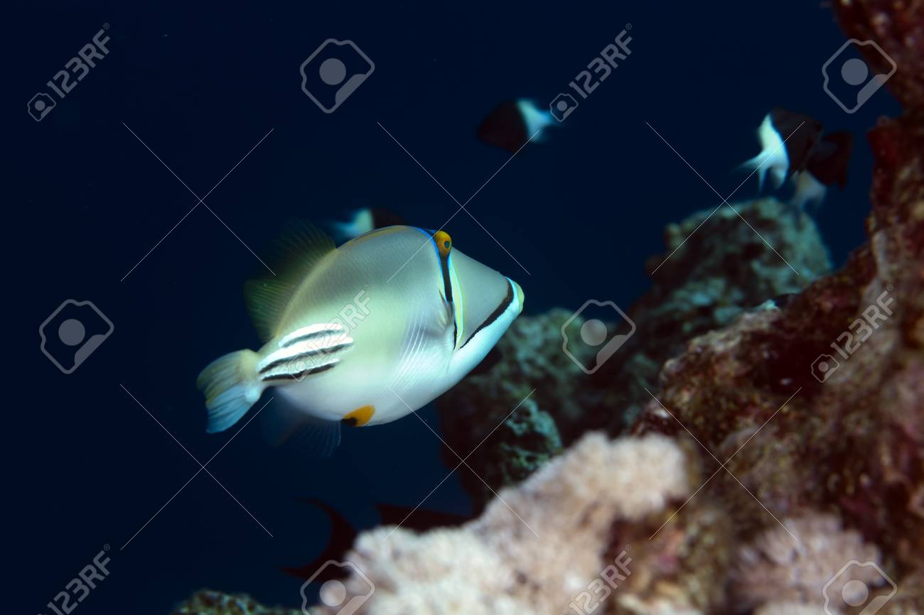 trigger fish in the Red sea Stock Photo - 12881163