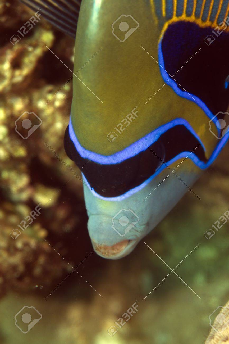 Emperor angelfish in the Red Sea Stock Photo - 13546824