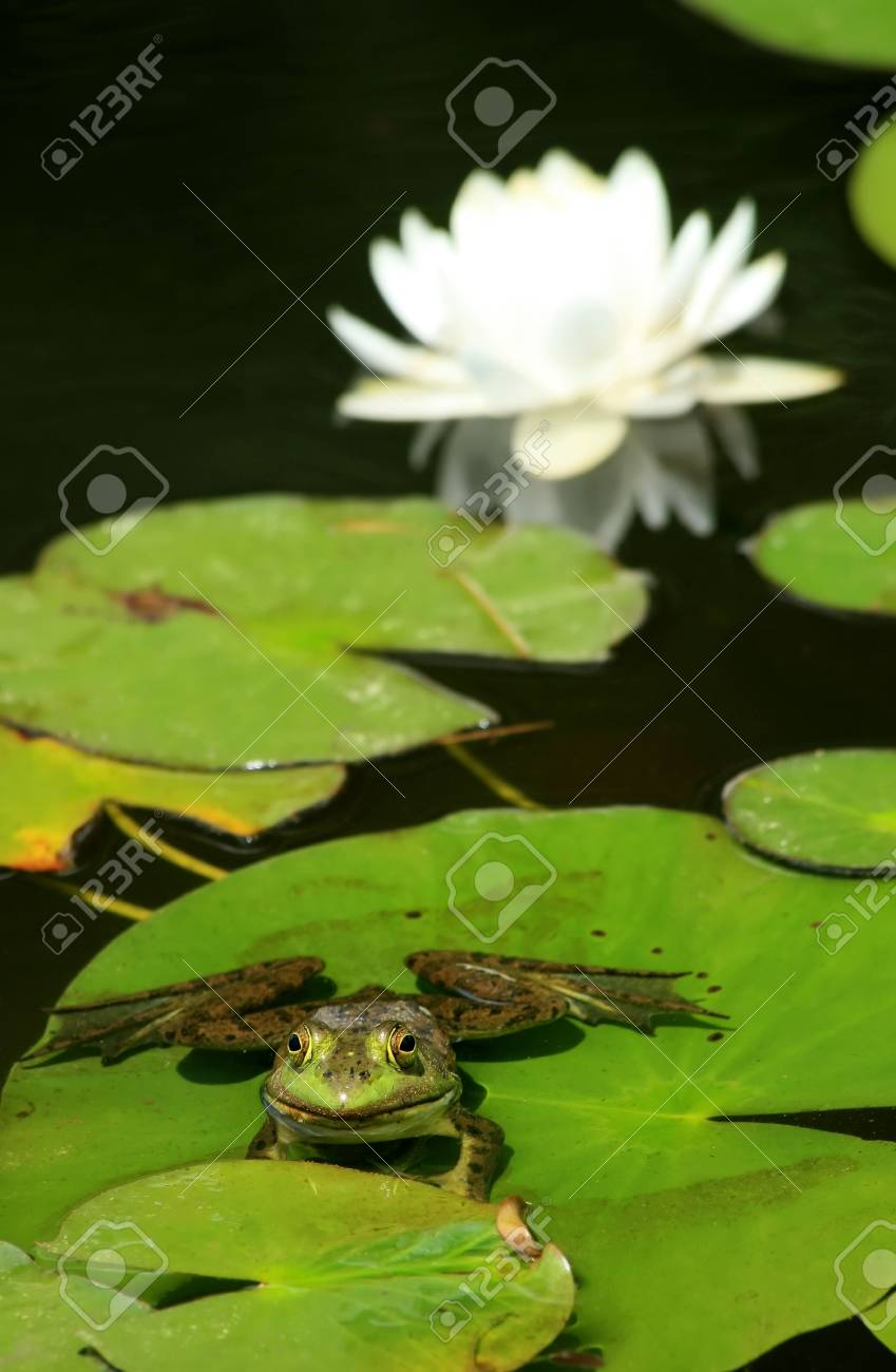 A bullfrong sits on a lily pad with a white lotus flower in the a bullfrong sits on a lily pad with a white lotus flower in the background stock izmirmasajfo