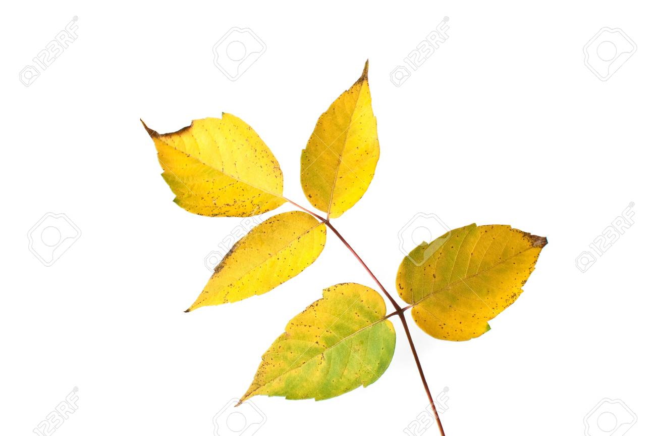 Yellow autumn leaves over a white background. Stock Photo - 8089195