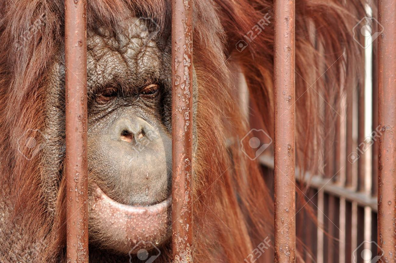 Close up portrait of an orang-utan behing the bars in the zoo with the sad look in his eyes. Stock Photo - 10580195