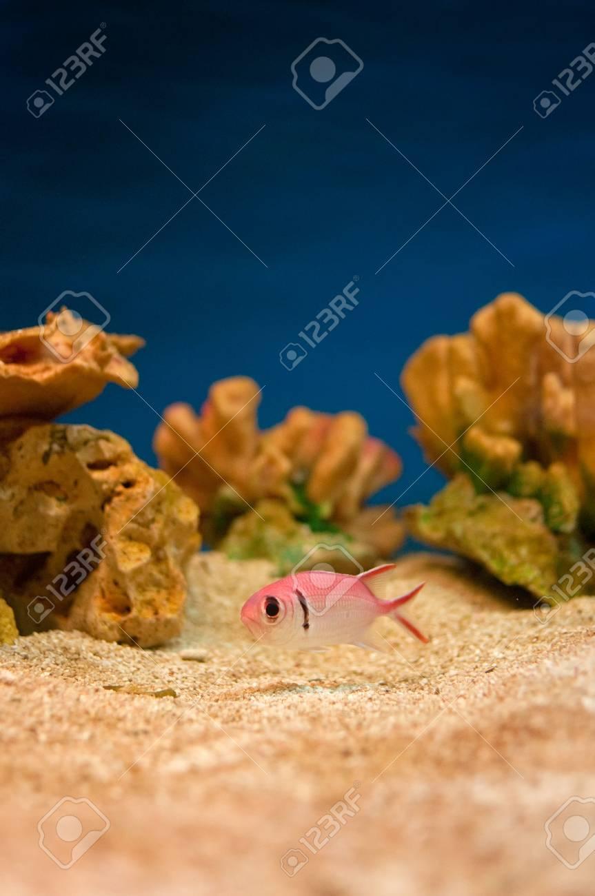 Beautiful pink sea fishes in an aquarium. Stock Photo - 10726007