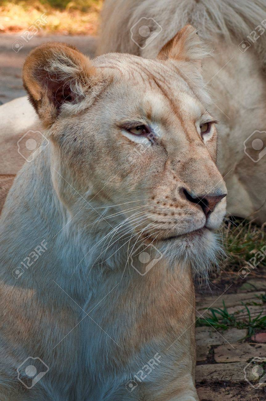 Close up portrait of white female lion. Stock Photo - 11597071