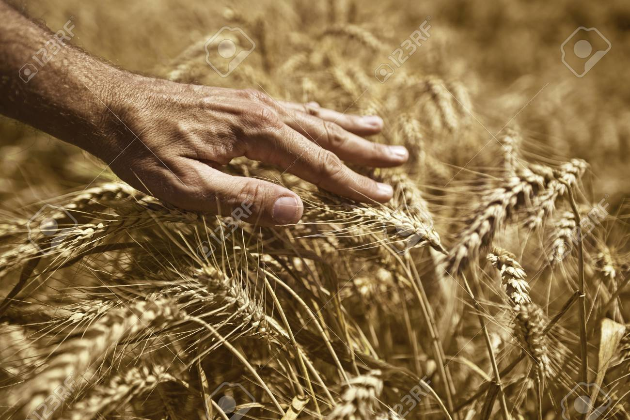 Farmer hand in wheat field  Agriultural background for harvesting season Stock Photo - 20752586