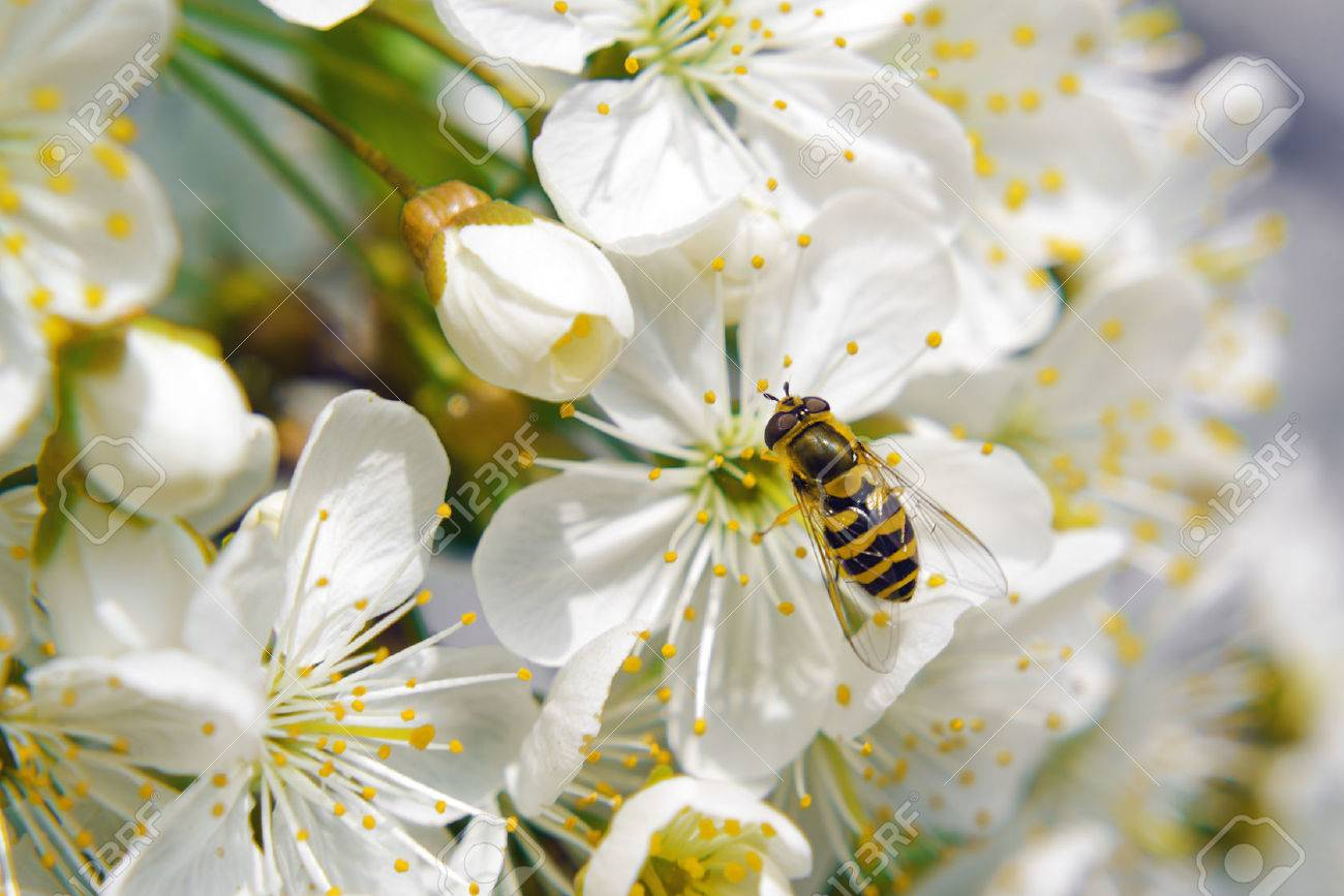 Bee tcollecting pollen from whitepear blossoming flowers. Spring season. - 27432500