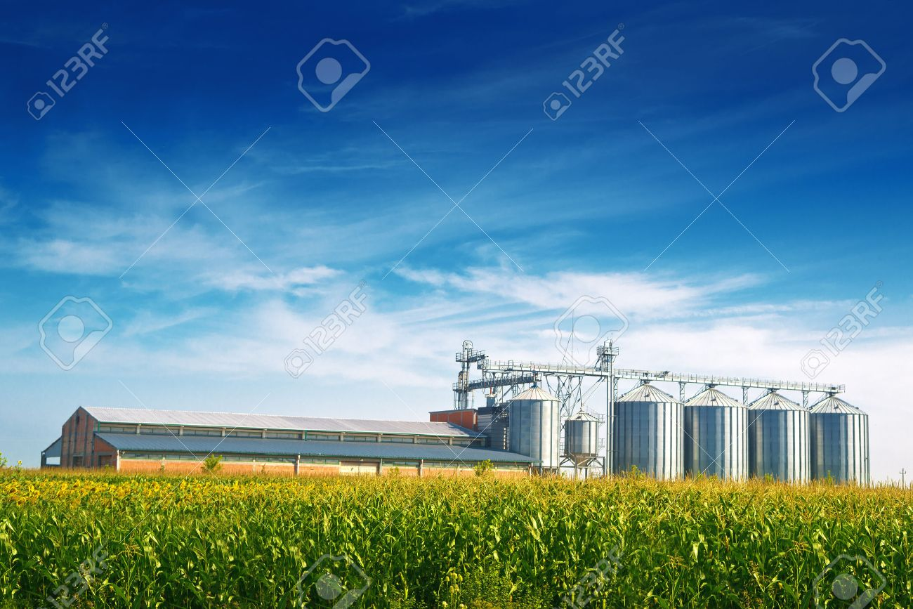 Grain Silos in Corn Field. Set of storage tanks cultivated agricultural crops processing plant. - 30175117
