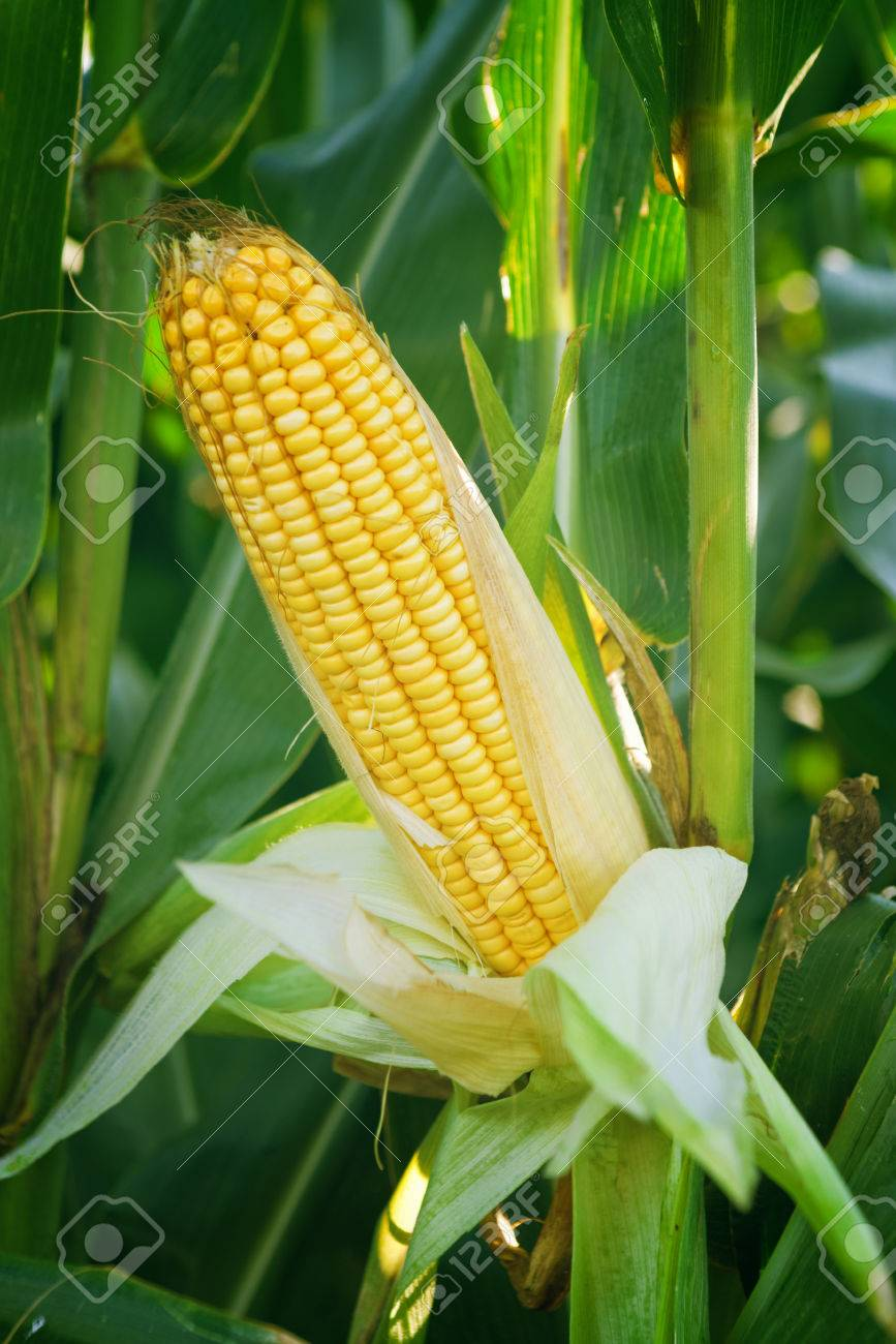 Corn Maize Ear with ripe yellow seed on stalk of a fully grown corn plant in cultivated agricultural field - 30792759