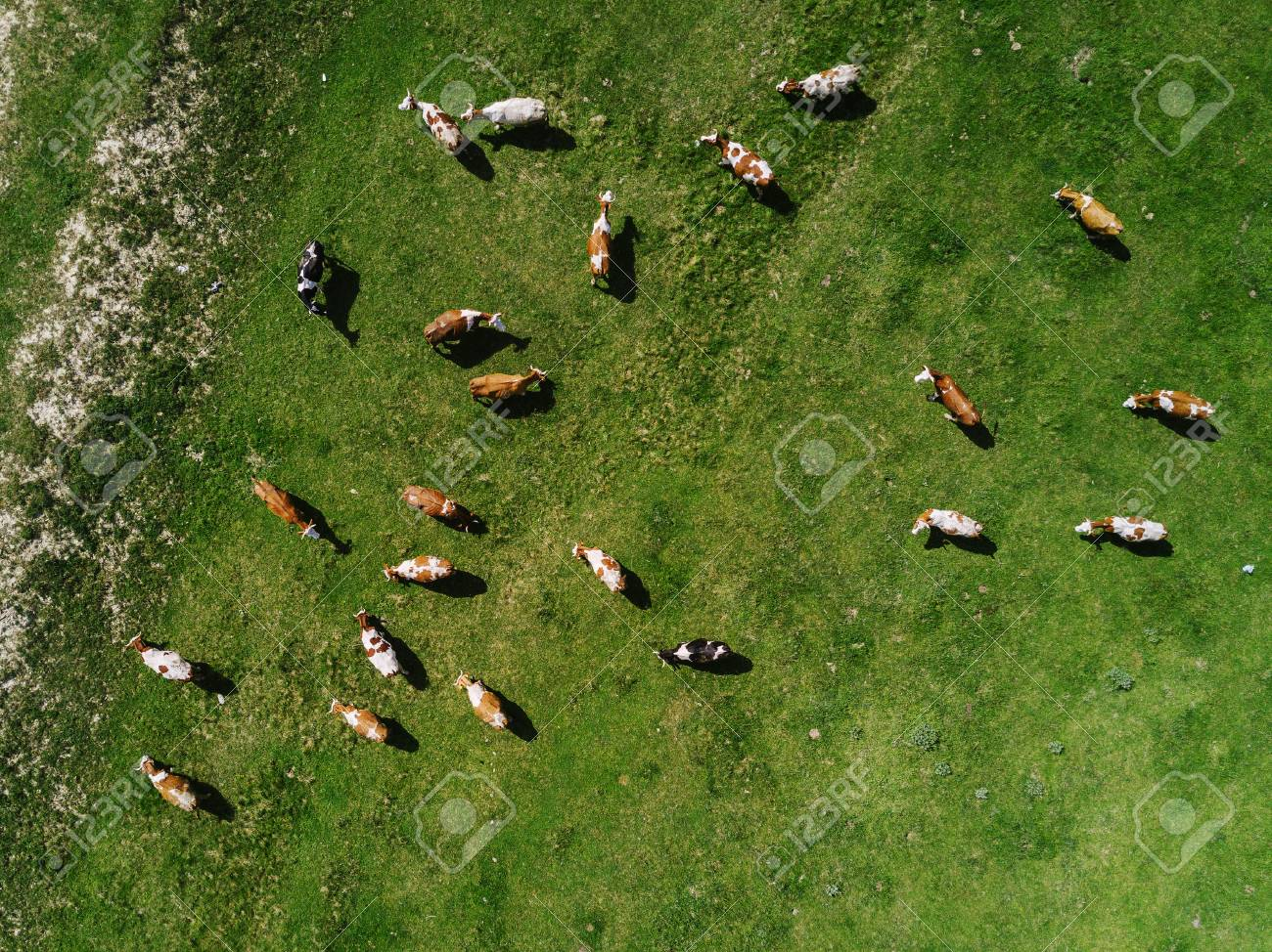 Aerial view of cows herd grazing on pasture field, top view drone pov - 78762265