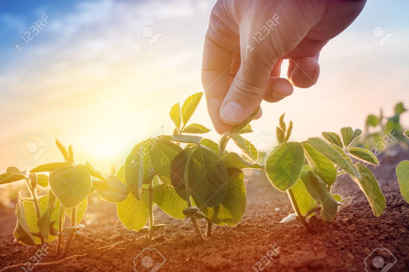 Farmer working in soybean field in morning, hand holding leaf of cultivated plant - 79265341