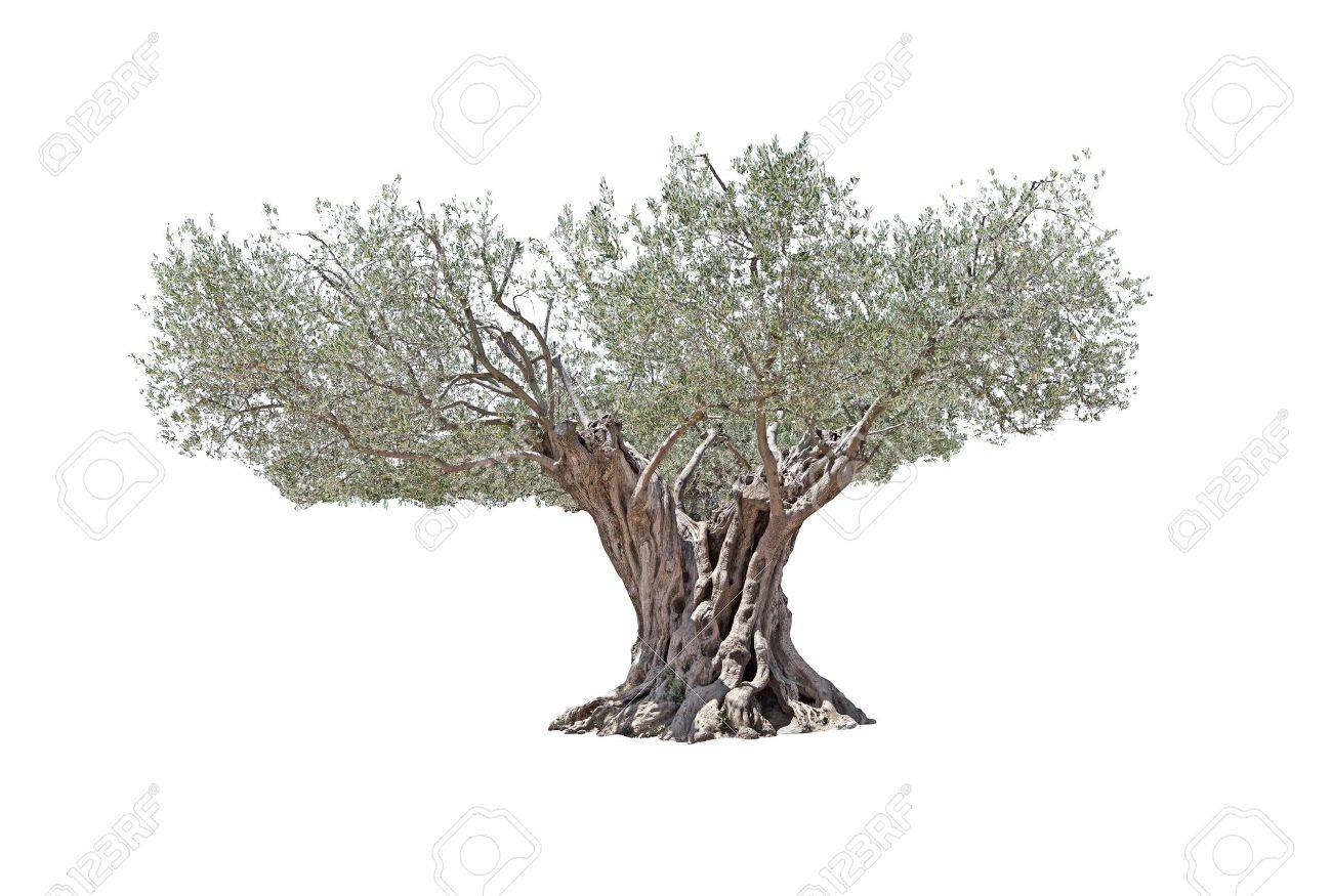 Secular Olive Tree with large and textured trunk isolated on white background Stock Photo - 15035490