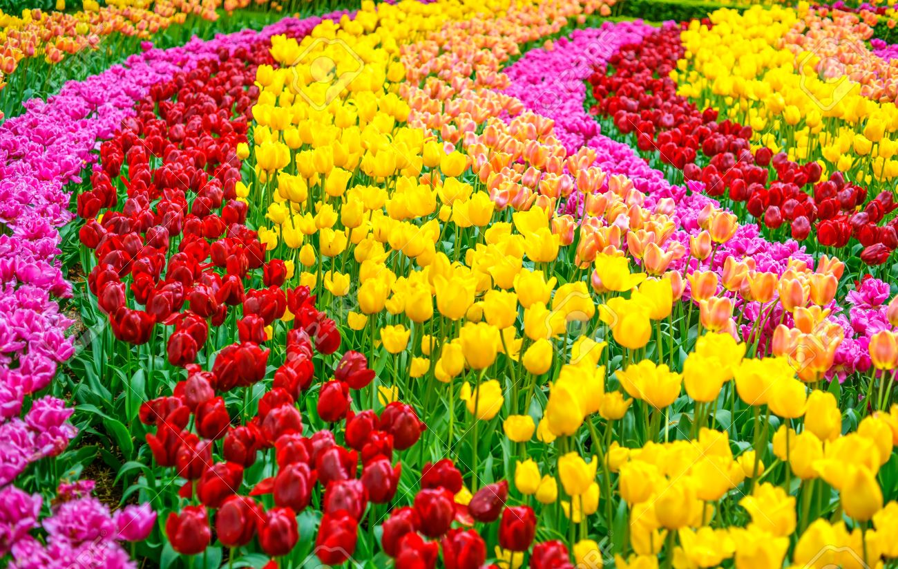 Tulip Colorful Flowers Garden In Spring Background Pattern Stock