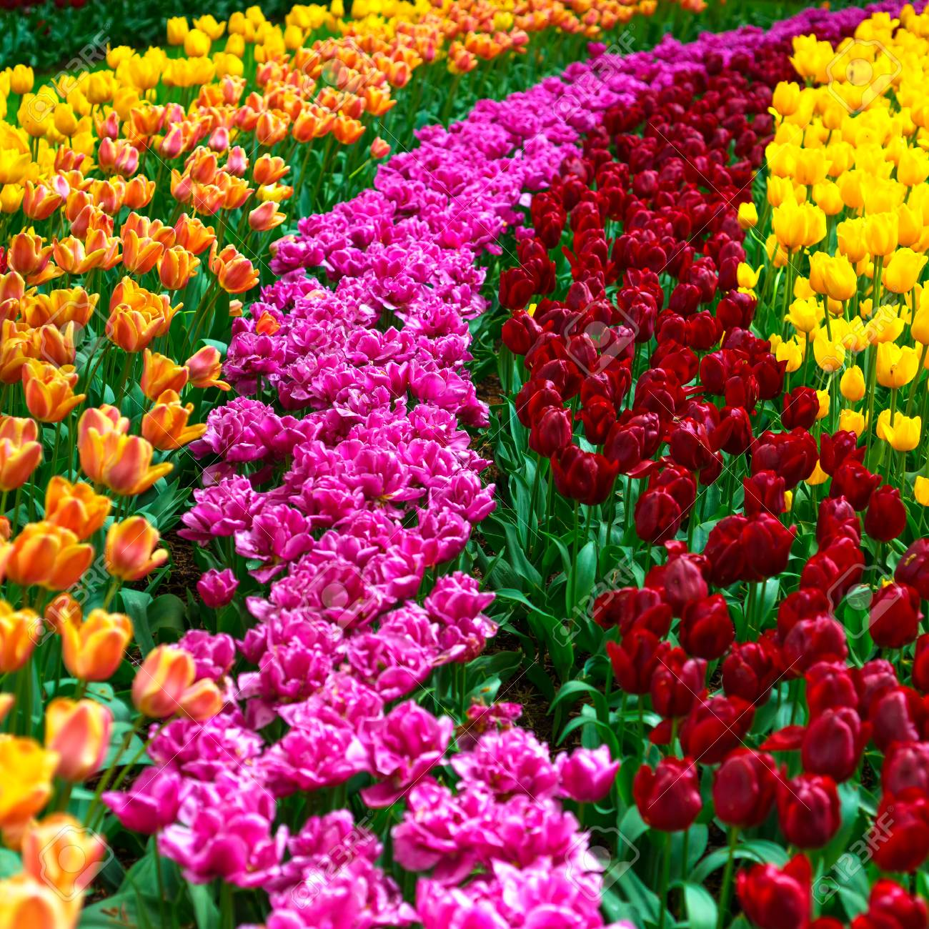 Tulip Colorful Flowers Garden In Spring , Pattern Or Texture Stock ...