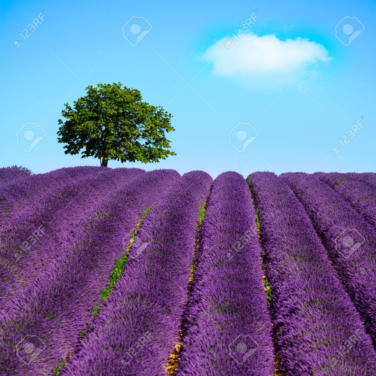Lavender Flowers Blooming Field And A Lonely Tree Uphill