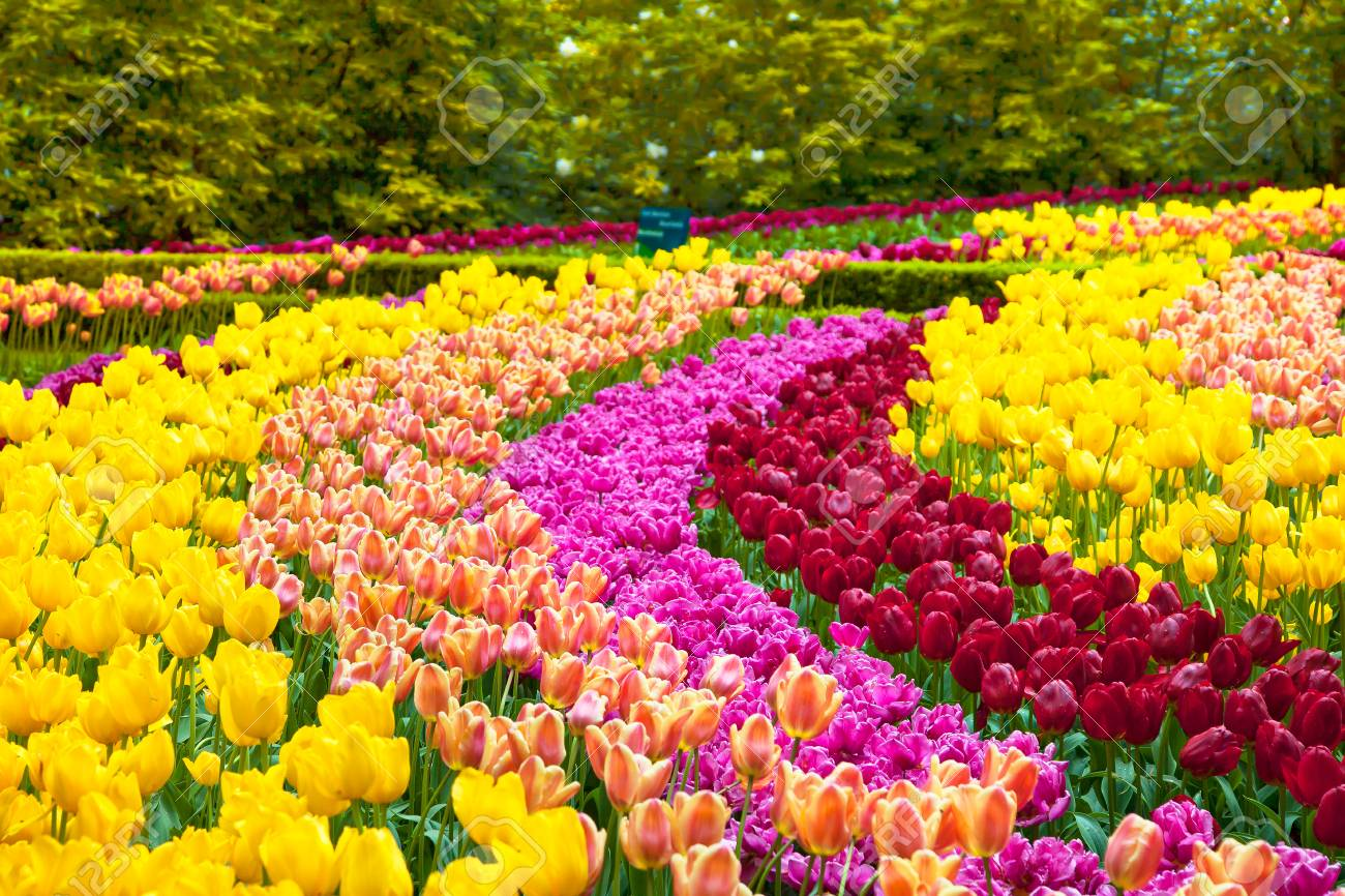 tulip colorful flowers garden in spring background pattern or stock photo picture and royalty free image image 93413947 tulip colorful flowers garden in spring background pattern or