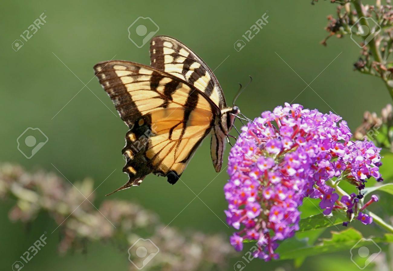 tiger swallowtail butterfly on a butterfly bush flower stock photo