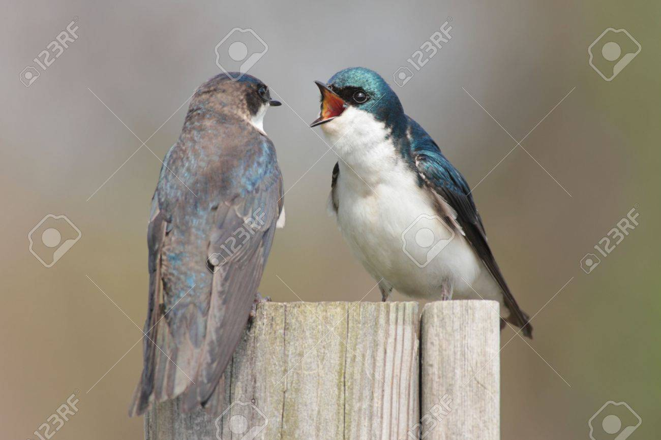 Pair of Tree Swallows (tachycineta bicolor) on a bird house Stock Photo - 2969286