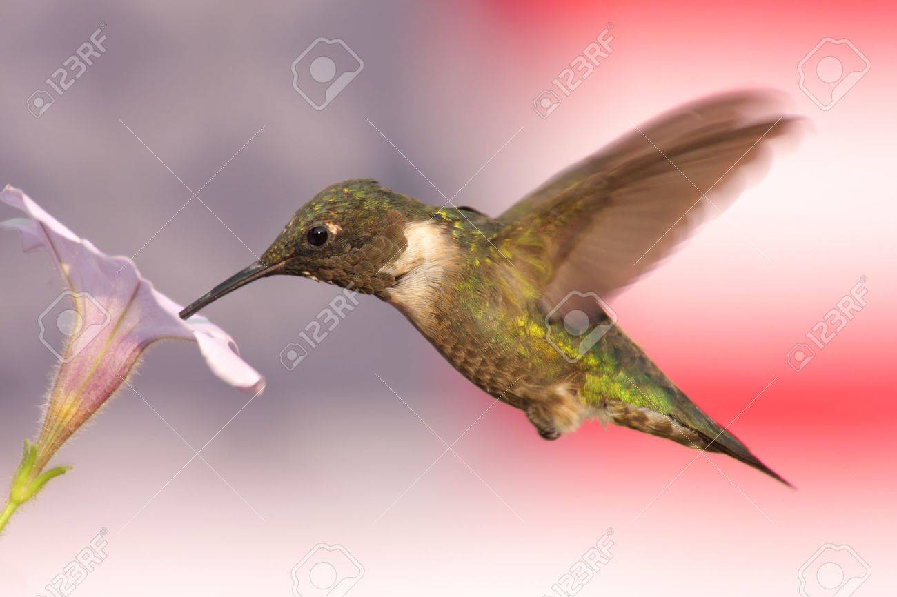 Ruby-throated Hummingbird (archilochus colubris) in flight with a soft-focus American Flag background Stock Photo - 3519573