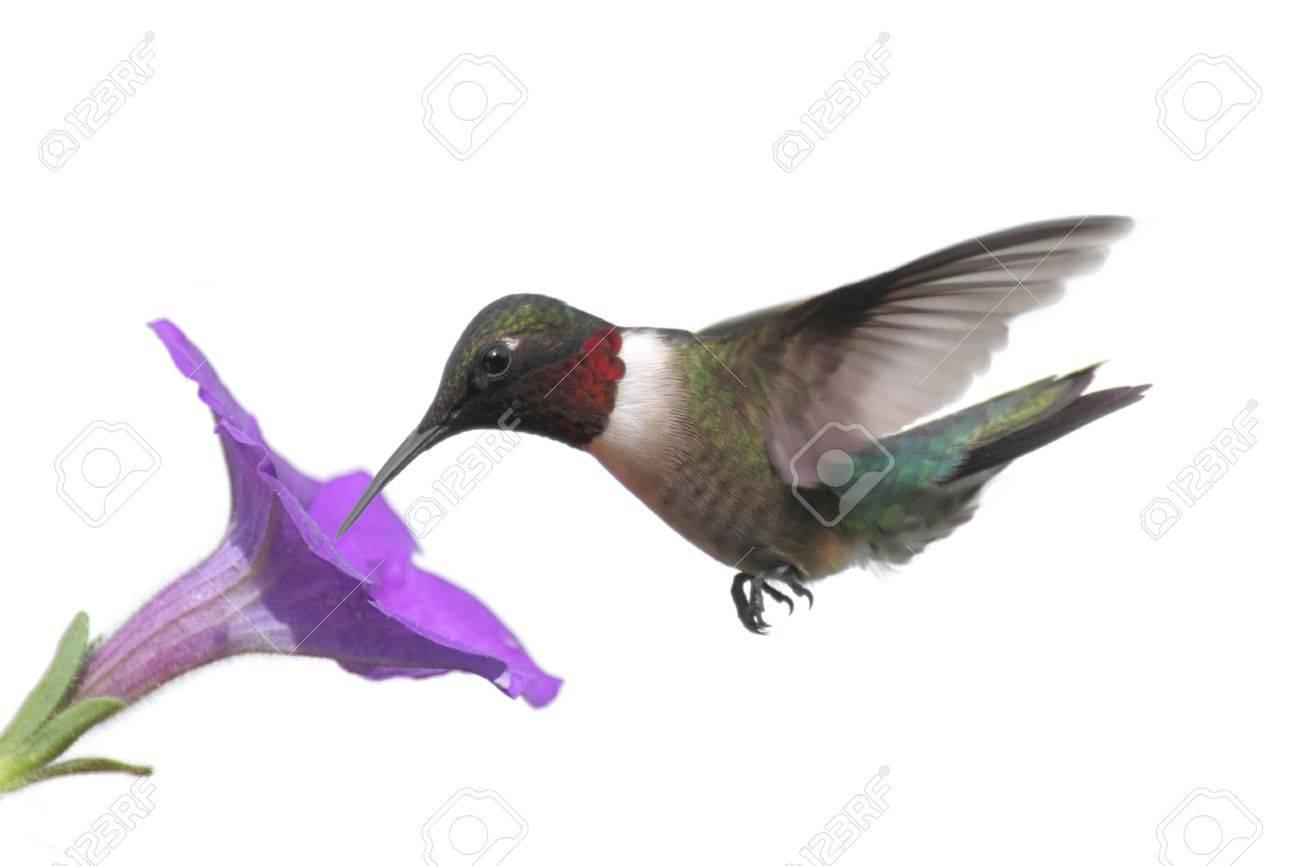 Ruby throated hummingbird white background