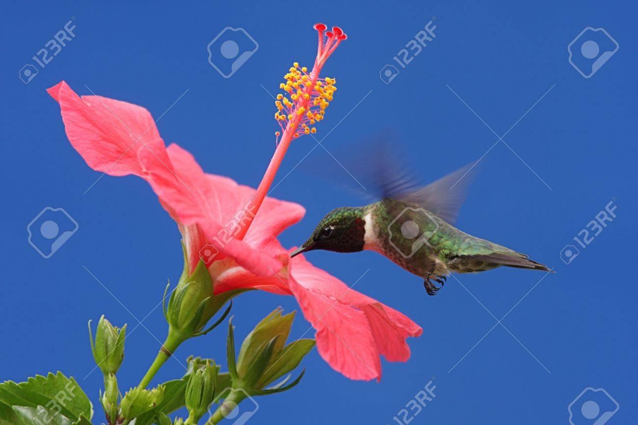 Male Ruby Throated Hummingbird Archilochus Colubris In Flight