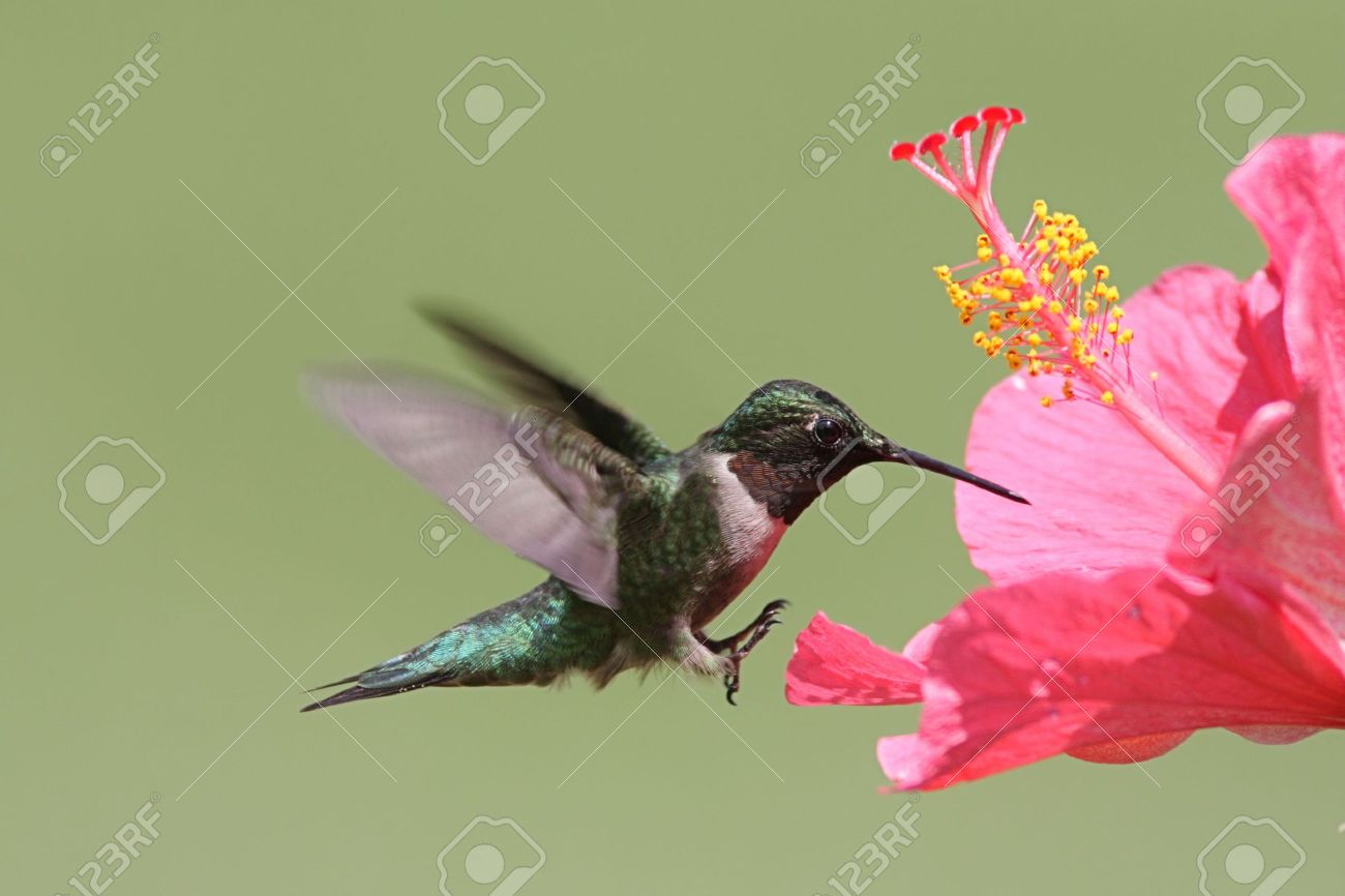 Colibri Hibiscus male ruby-throated hummingbird (archilochus colubris) in flight