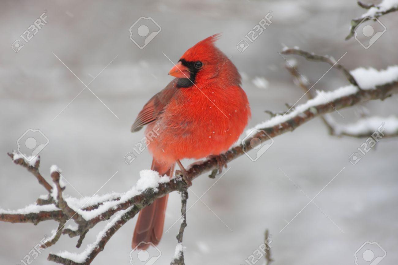 Male Northern Cardinal (cardinalis cardinalis) on a branch in a snow storm Stock Photo - 6109733