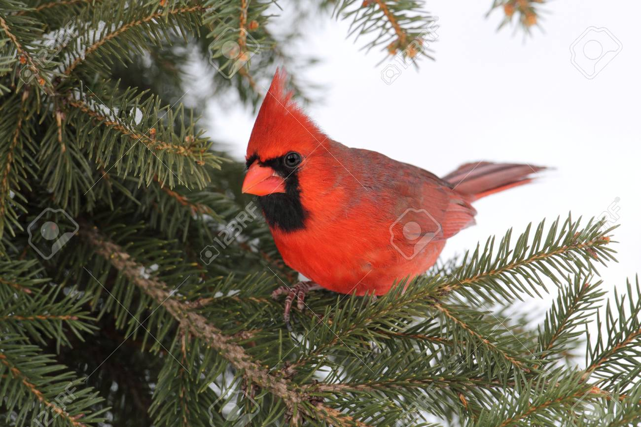 Male Northern Cardinal (cardinalis cardinalis) on a Spruce branch with snow in the background Stock Photo - 6430112