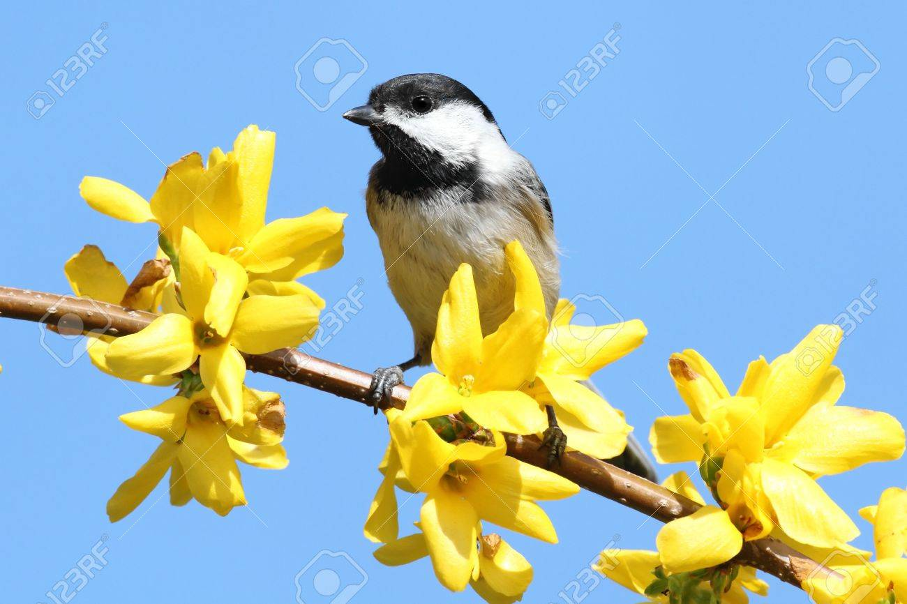 Black-capped Chickadee (Poecile Atricapillus) Perched On A Branch ...