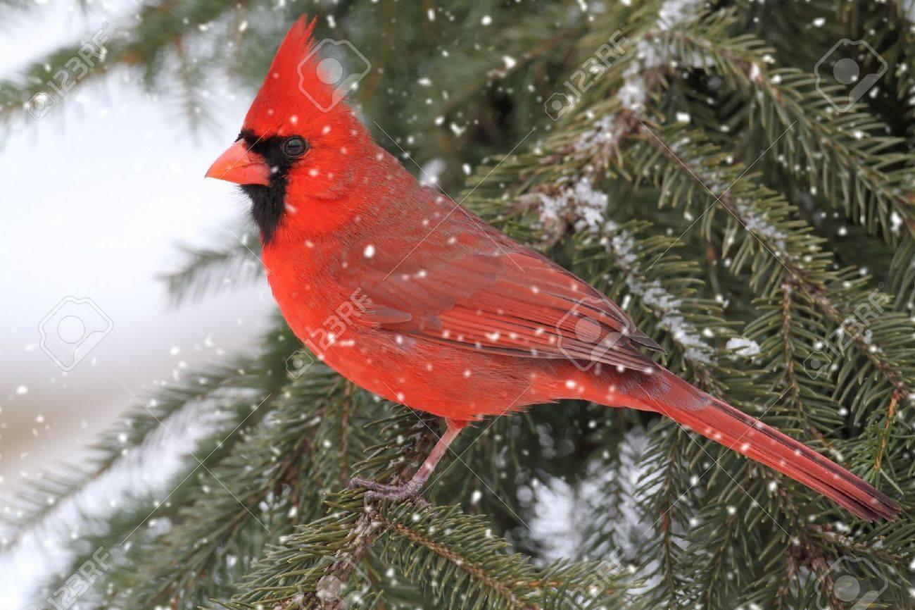snow cardinal stock photos u0026 pictures royalty free snow cardinal