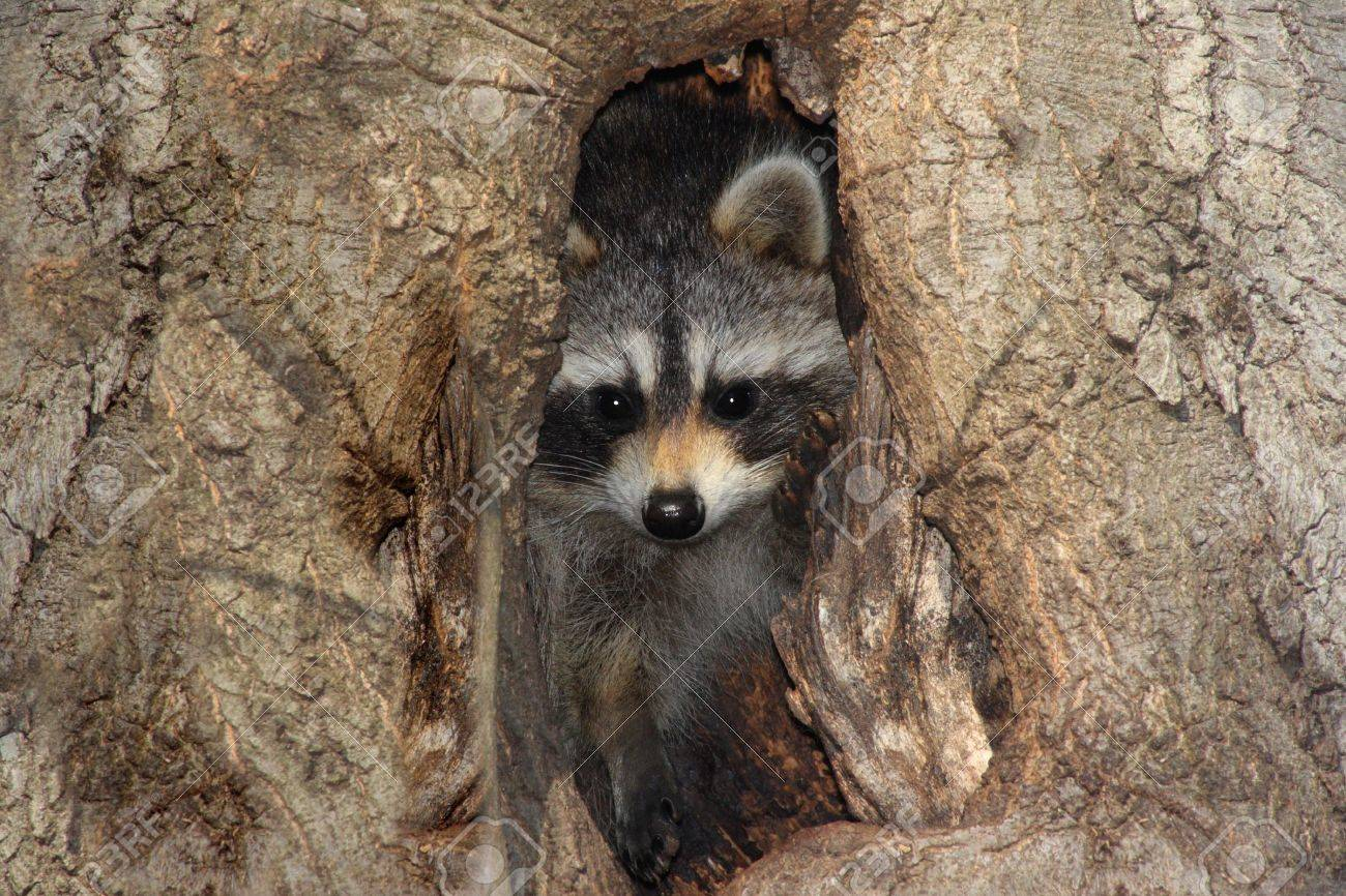 baby raccoon procyon lotor peeking out of a hole in a tree stock