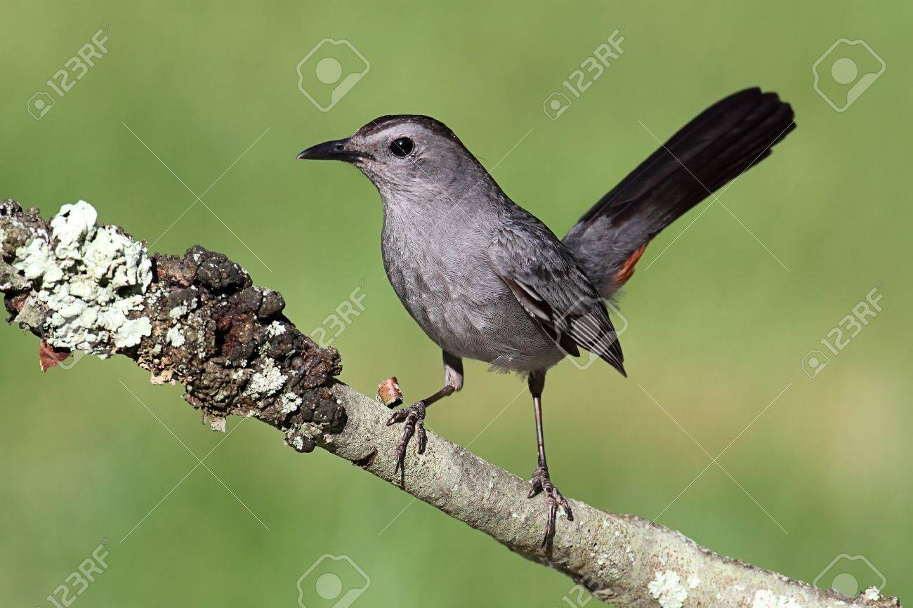 Gray Catbird (Dumetella carolinensis) on a branch with a green background Stock Photo - 10859363