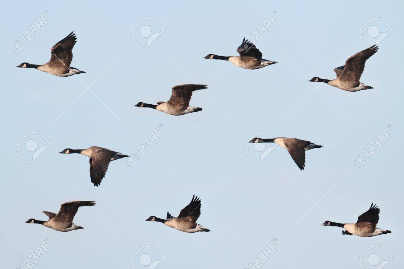 Canada Goose (Branta canadensis) in flight with a blue sky background Stock Photo - 10932358