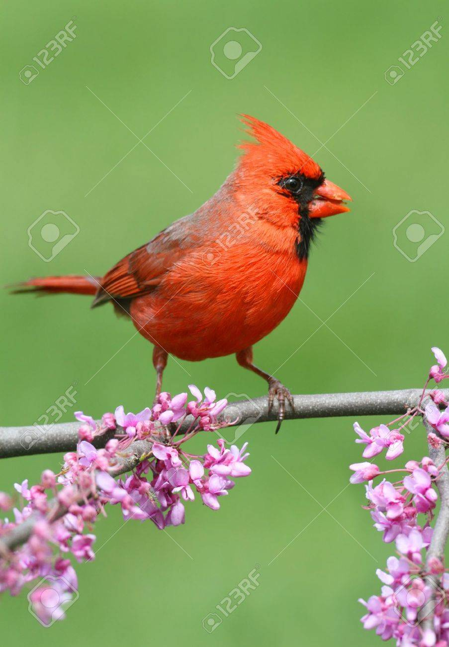 Male Northern Cardinal (cardinalis) on a branch with flowers in spring Stock Photo - 13451878