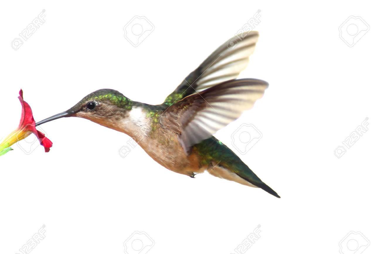 Hummingbird Stock Photos Royalty Free Hummingbird Images