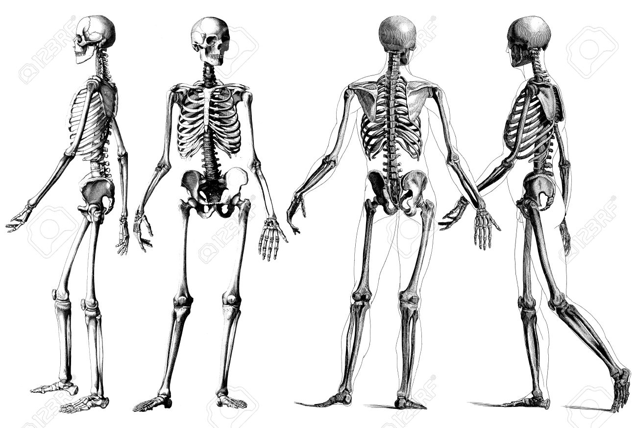 Medicine - Outline Victorian Anatomy Drawings Of The Human Skeleton ...