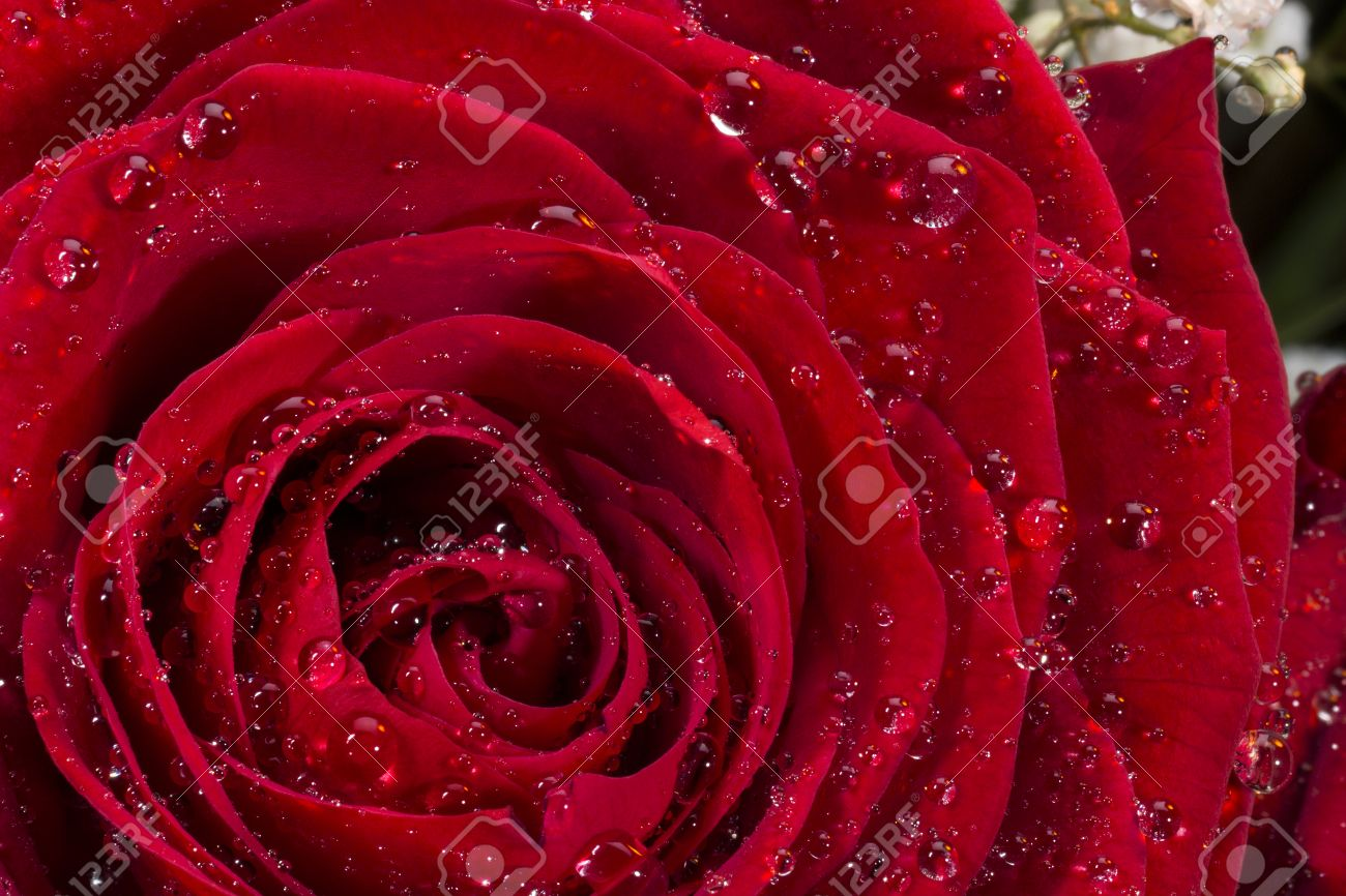 A red rose of the genus rosa family rosaceae red roses are a red rose of the genus rosa family rosaceae red roses are often used buycottarizona