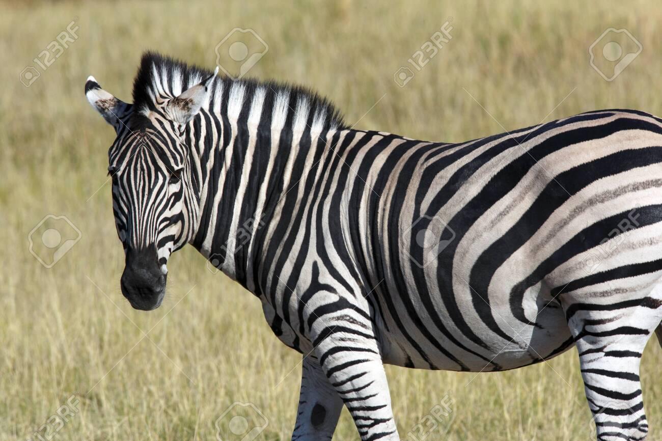 A Zebra (Equus quagga) in the Khwai River area of Botswana, Africa. - 131165024