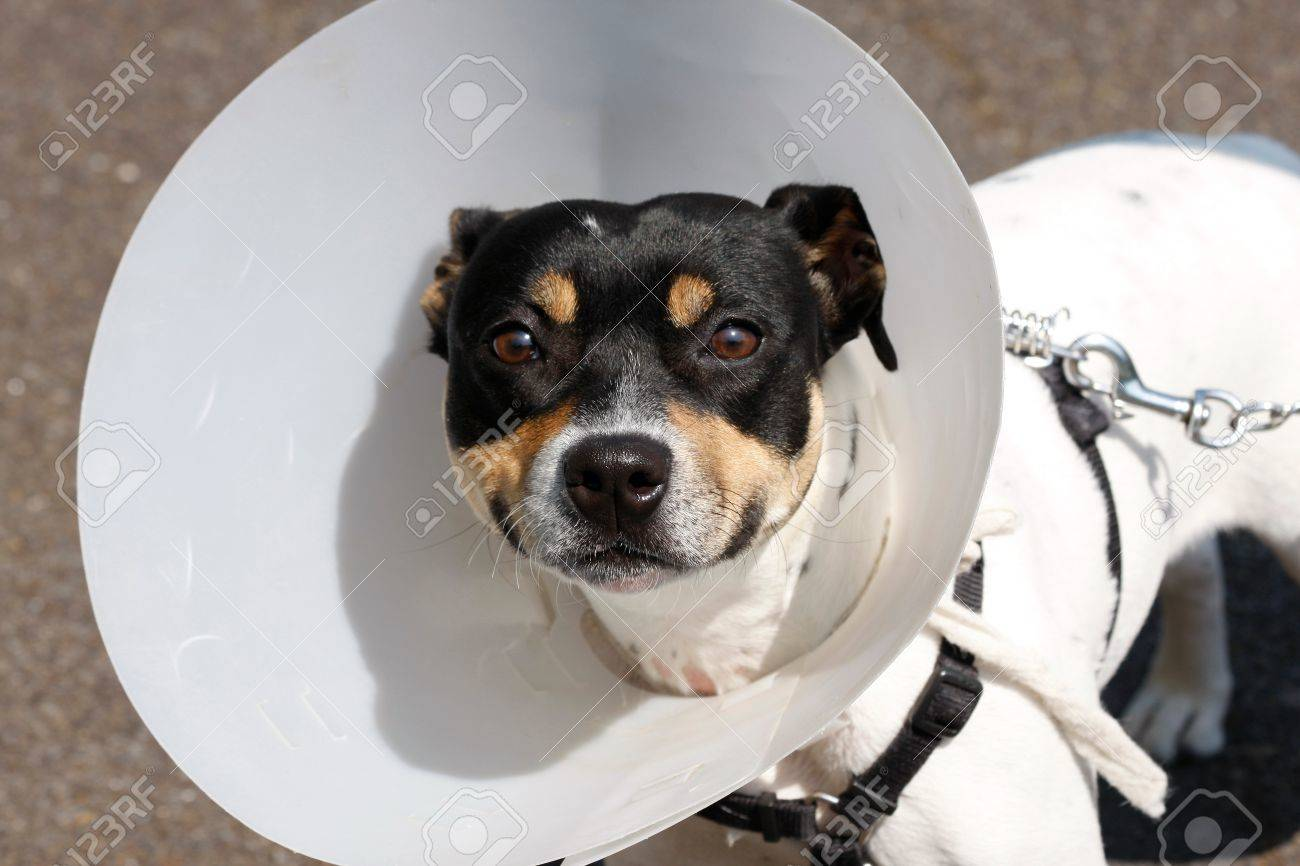 Small dog wearing a cone after surgery - 16239381