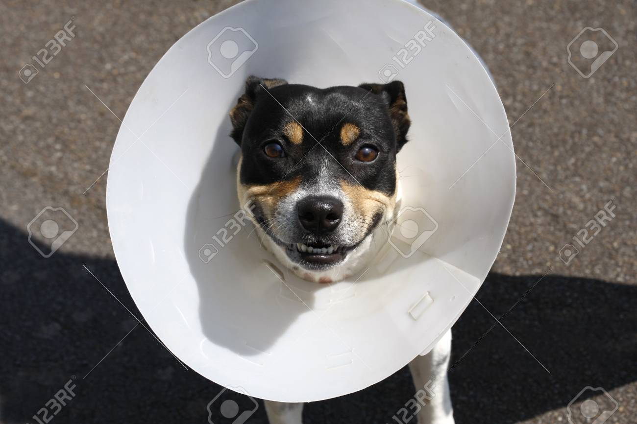 Small smiling dog wearing a cone after surgery - 17953958