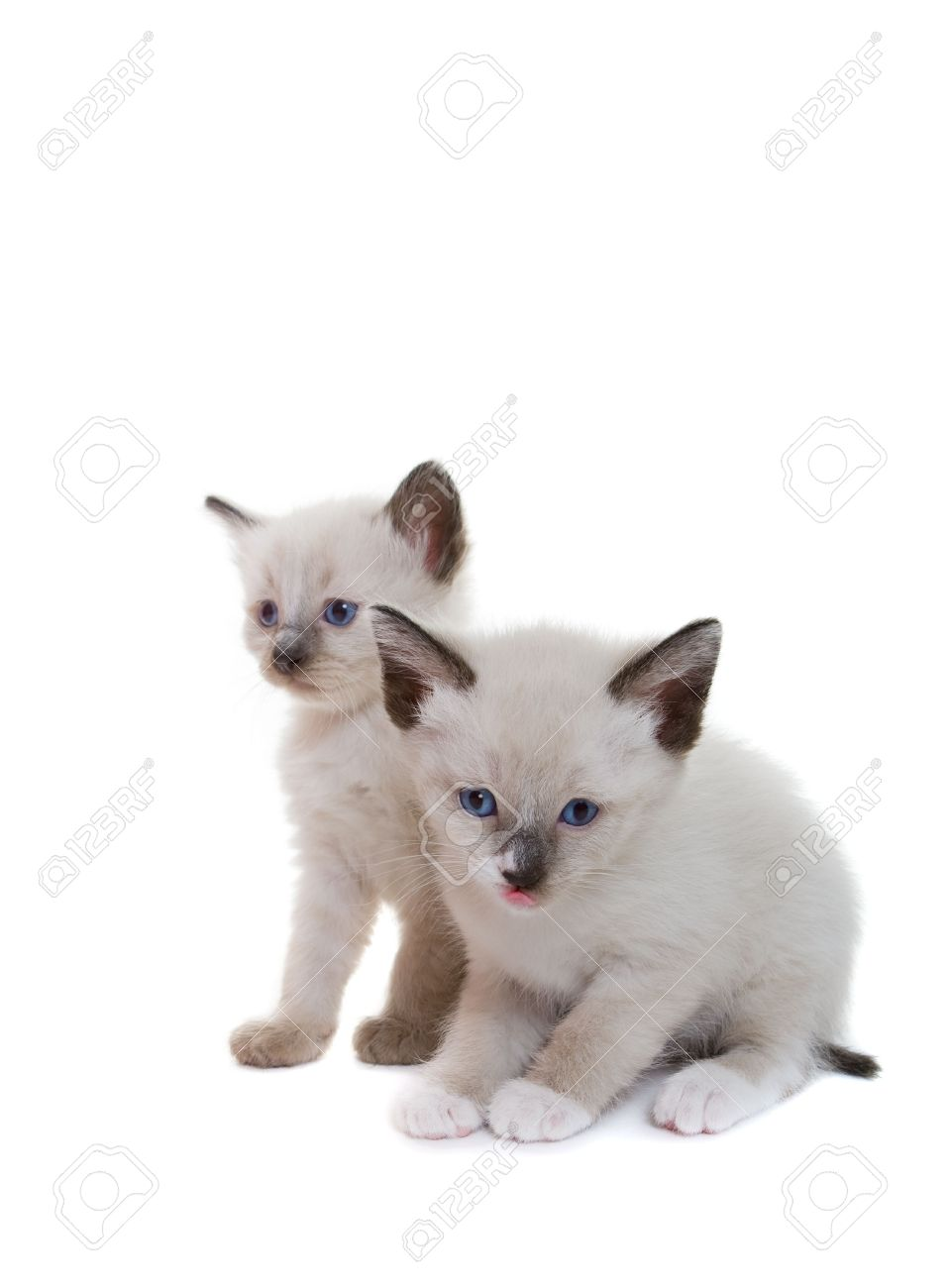 Two Lilac Point Siamese Kitten On White Background Stock Photo Picture And Royalty Free Image Image 3486416
