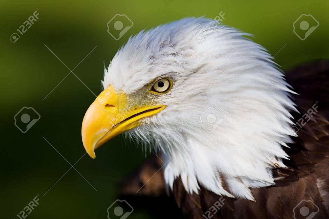 High resolution bald eagle portrait Stock Photo - 5339885